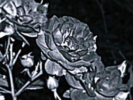 HDR Black Rose by mmariang