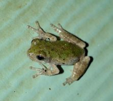 Tiny Tree Frog., by duggiehoo