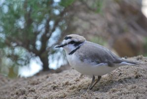 Snowy Plover Mountain by meihua