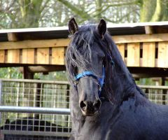 Luke Head Shot - Friesian by the-other1