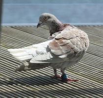 Pigeon 1 by CAStock