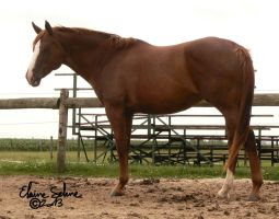 OLD - QH Mare - 13 by ElaineSeleneStock