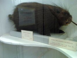 American arboreal porcupine by Lynus-the-Porcupine