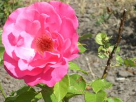 Rose by Flagelle