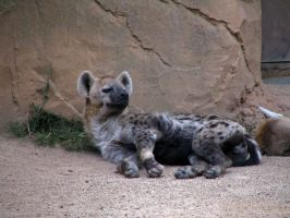 hyena 01 by Pagan-Stock