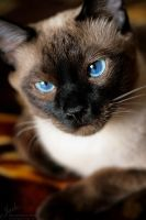Thai cat by AnJail