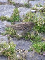 sparrow on paving block by pekauppi
