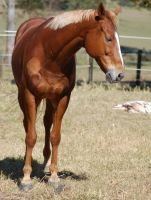 Horse stock - TB front view by Chunga-Stock