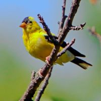Yellow finch in sun by clippercarrillo