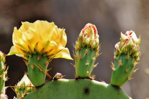 Three Cactus Flowers by I-Heart-Photos