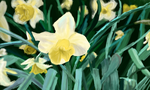 Field of Daffodils by visiouscatlovet
