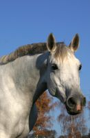 Grey Warmblood Portrait Stock by LuDa-Stock