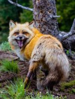Foxy IV by White-Voodoo