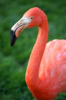 Portrait of a Flamingo by RMEdwards