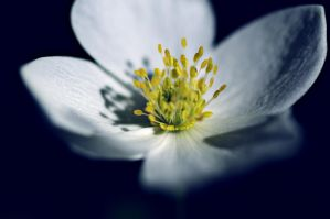 wildflower A 6.25.11 by serealis
