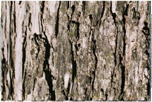Bark Texture 2 by webgoddess