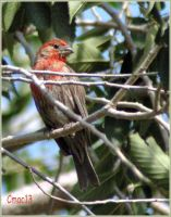 Male House Finch by Cmac13