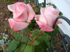 Doubled rose pinks by aragornsparrow