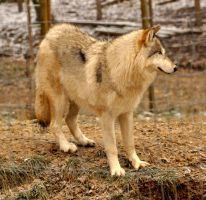 WSC wolves stock 4 by windfuchs