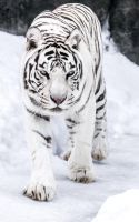 White Tigress III by OrangeRoom