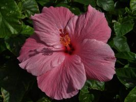 Pink Tropical Hibiscus by Matthew-Beziat