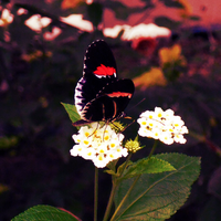 Red and black butterfly by hannie001