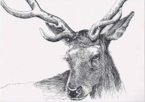 Stag by drendal