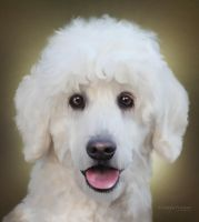 White Poodle by ThreshTheSky