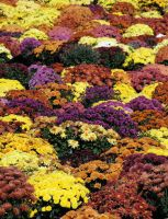 Mums by photowizard