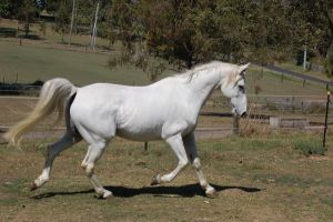 Horse stock - Arabian trot by Chunga-Stock