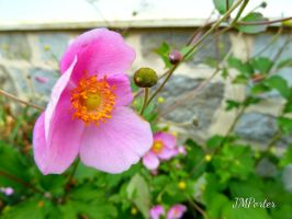 Wild Rose Bloom by JMPorter