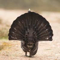 The End is Nigh - Capercaillie by Jamie-MacArthur