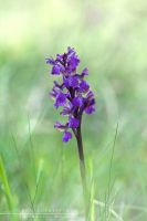 Wild Orchid - Orchis laxiflora by Mantide