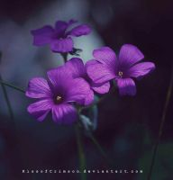 Purple Flowers. by KissofCrimson