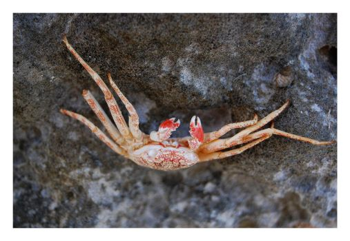 Red Crab by LukasB86