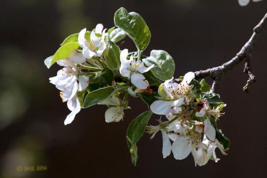 Apple Blossoms by caillteone