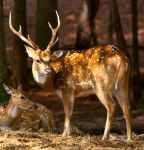 Chital Deer by deseonocturno