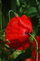 Poppy after Rain by RowanLewgalon