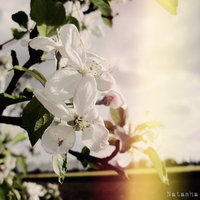 Apple Flowers by flightlessBird91