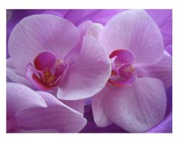 Darling Orchids by webworm