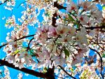 Cherry Blossoms by CharlottesCritiques