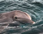 Atlantic Bottle Nose Dolphin by SteelCowboy
