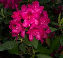 pink flowers by Malificent