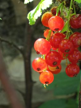 Red currant by tipoons