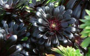 Black Succulent by RoyalScanners