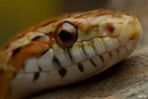 4.Corn snake by Bullter