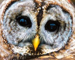 Barred Owl by dkwynia
