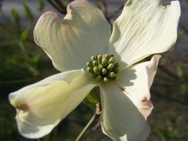 Dogwood Single Flower by Silent-Broken-Wish