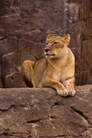 Lioness Perched by Daolpu