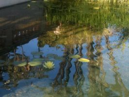 Lilly pads by Piggy911